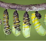caterpillar to chrysalis